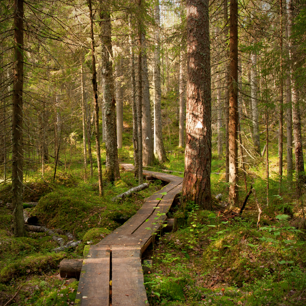Marked path into forest of Finland in august tall pine trees