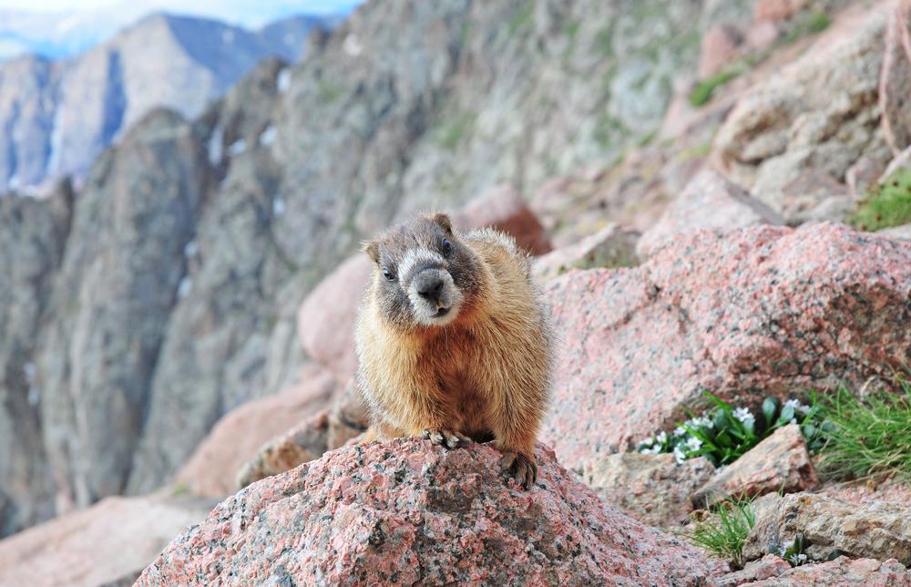 Marmot Rocky Mountains Colorado