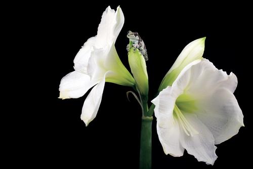 Milk Frog on a amaryllis flower