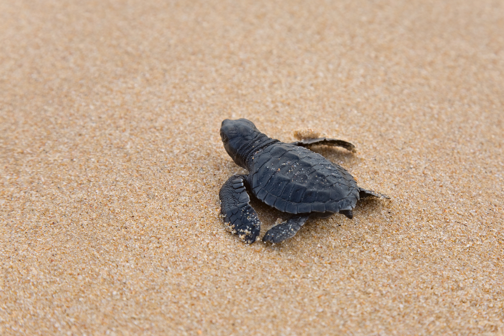 Newly hatched babies turtle in humans hands at Sea Turtles Conservation Research Project in Bentota Sri Lanka