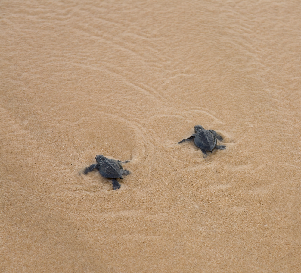 Newly hatched babies turtle in humans hands at Sea Turtles Conservation Research Project in Bentota Sri Lanka 2