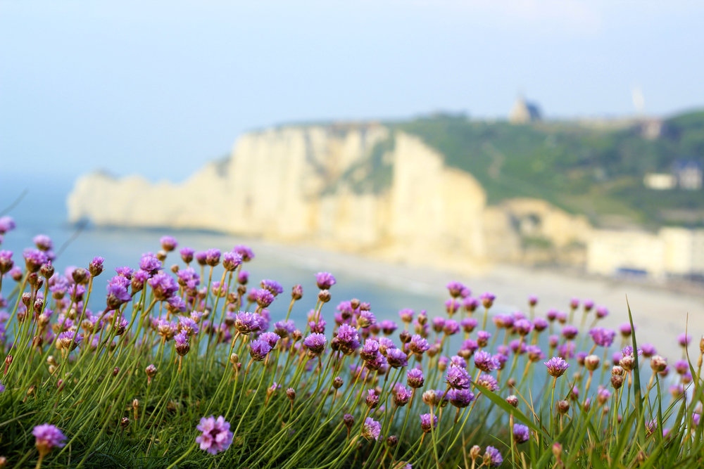 Normandy landscape  Etretat Normandy France landscape Armeria maritima flower on the foreground with the famous falaise of Etretat on the blurred background