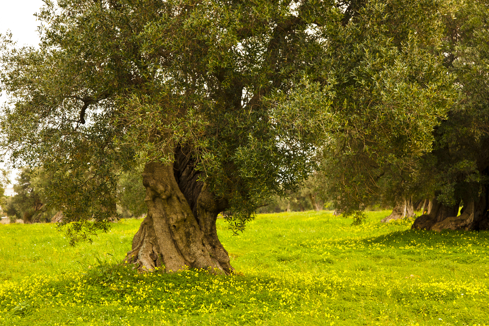 Olive trees and wildflowers
