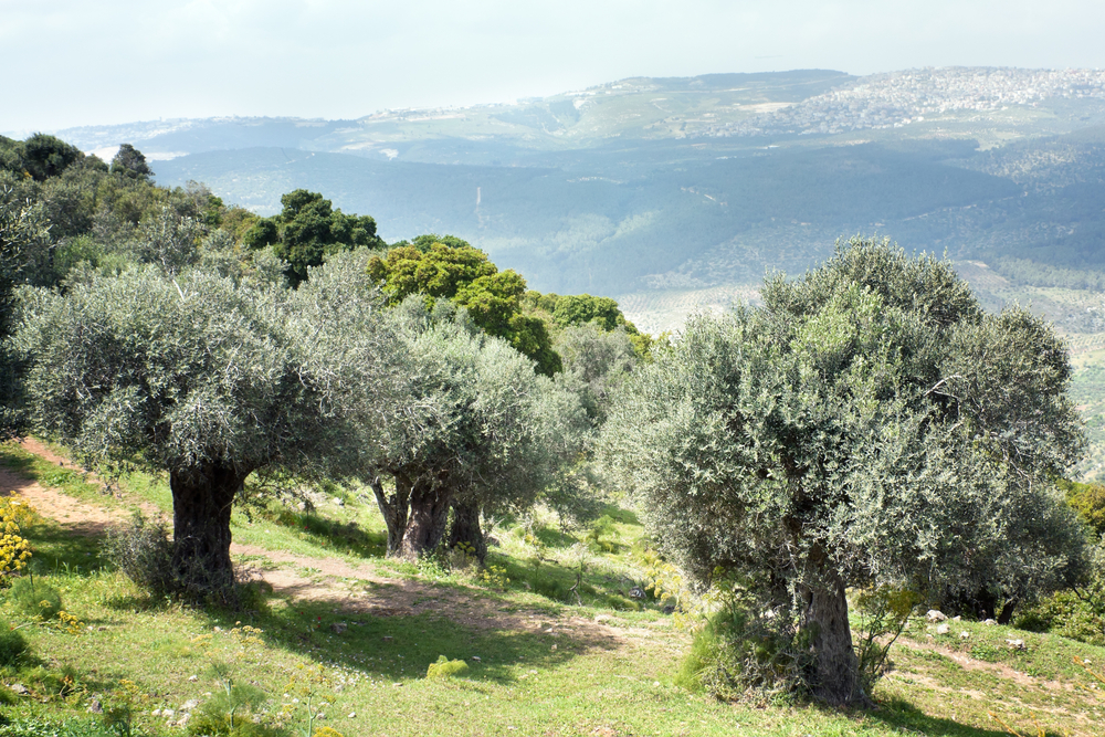 Olive trees in a garden in the spring cloudy in the afternoon mountain FavorIsrael