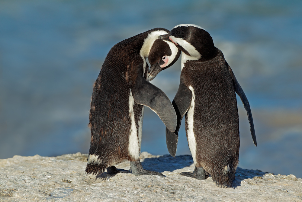 Pair of African penguins Spheniscus demersus Western Cape South Africaa