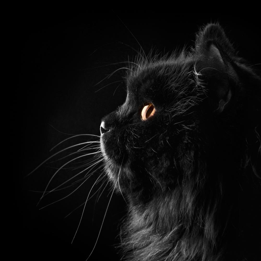 Persian cat curious iran gatto