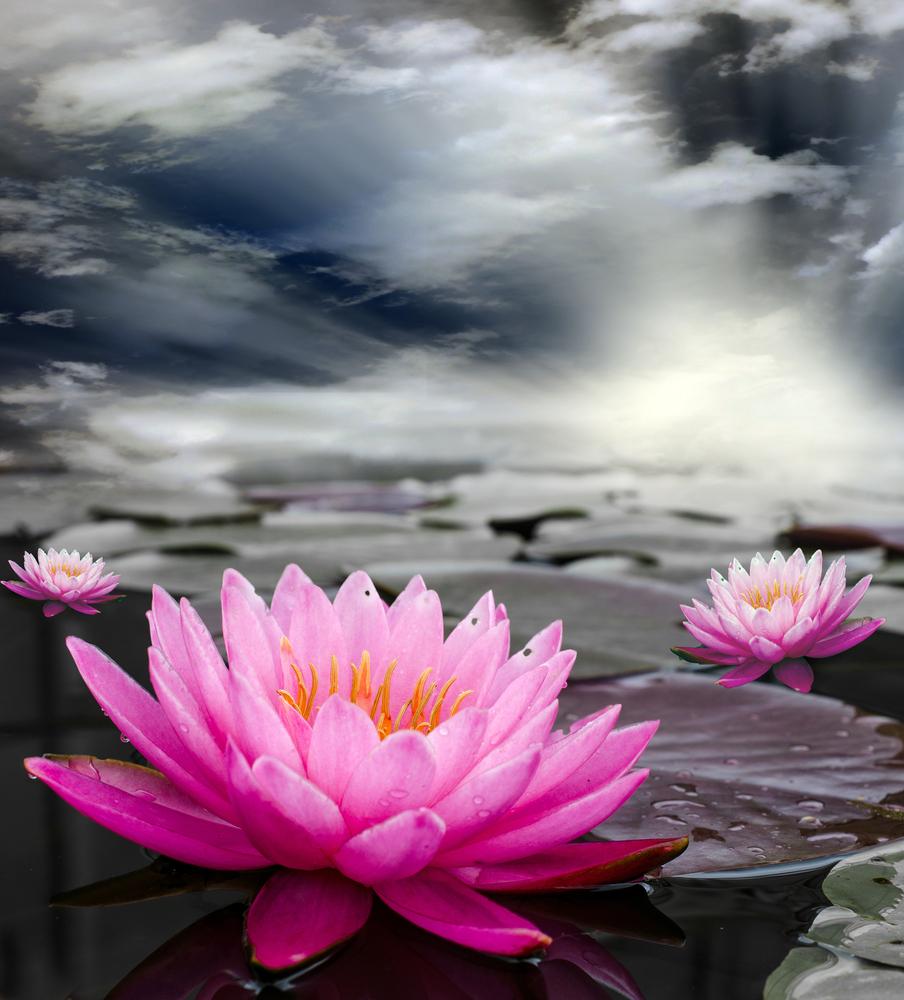 Pink lotus blooming in marshlands