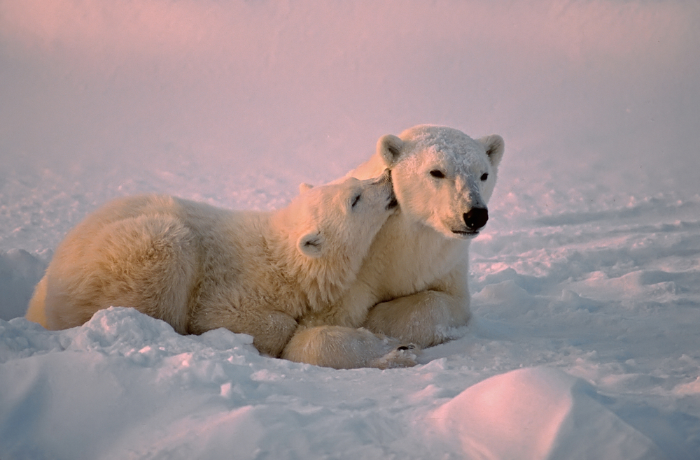 Polar bear with affectionate cub