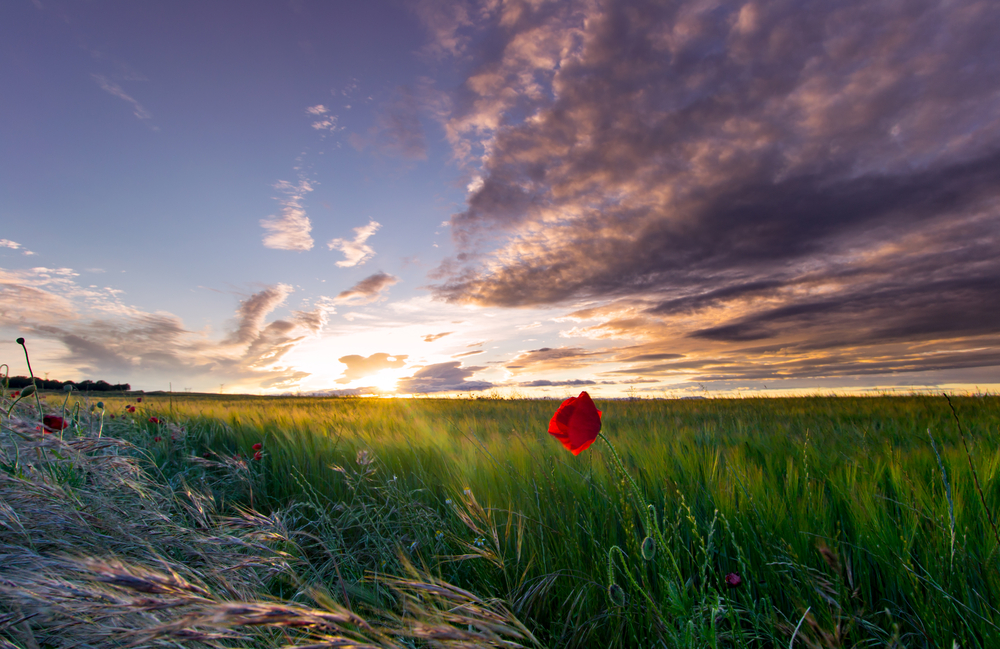 Poppy flower in a field near to Madrid