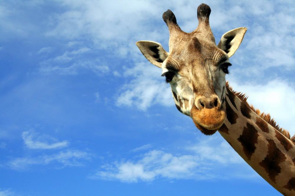 Portrait of a curious giraffe Giraffa camelopardalis over blue sky with white clouds in wildlife sanctuary near Toronto Canada