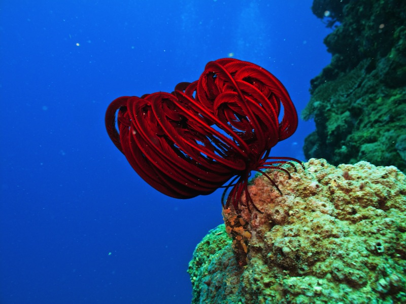Red Sea Creature on Great Barrier Reef Australia