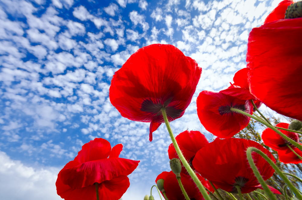 Red corn poppies against a springtime blue sky in Texas papaveri