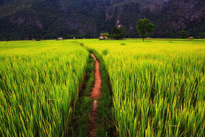 Ricefield in Laos