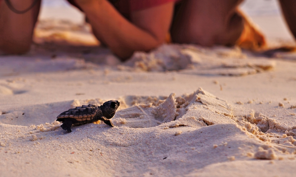 Sea Turtle Hatchling curacao