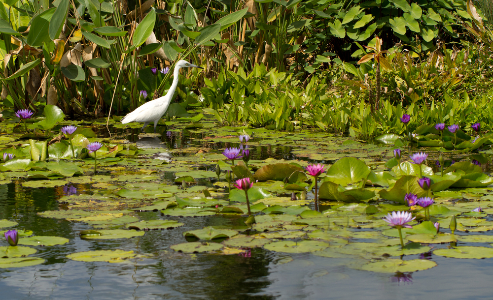 Snowy Egret among the Water Lilies at the botanical gardens in Naples Florida 7