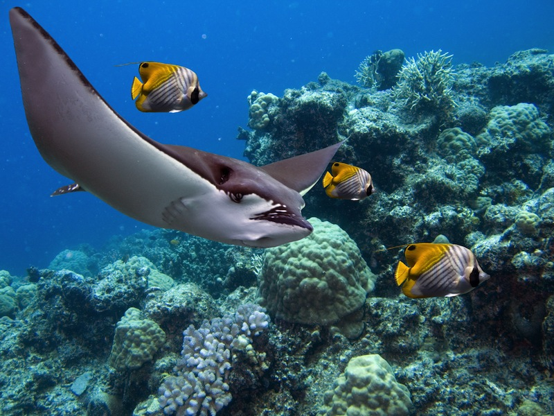 Spotted Eagle rays Aetobatus narinari and Lined Butterflyfish Chaetodon lineolatus Cuvier swimming over tropical reef
