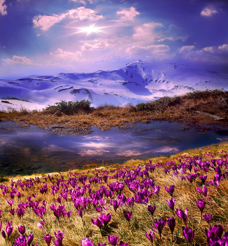 Spring snow melt and in the Carpathian valleys grow beautiful alpine flowers crocus crocuses they are also Geyfelya they also primroses