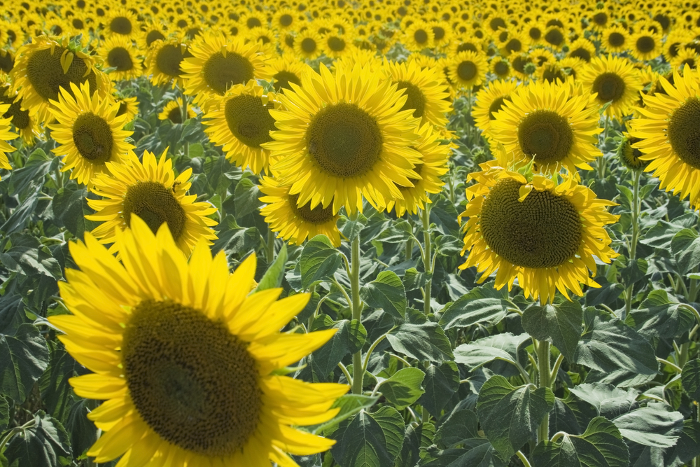 Sunflowers Emilia romagna
