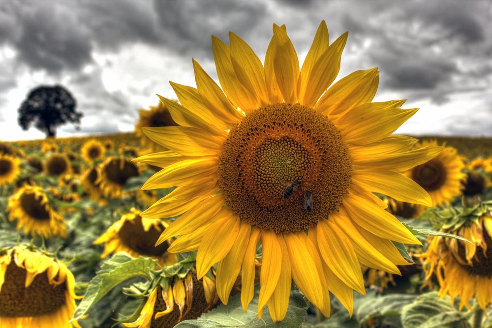 Sunflowers at Burgundy France