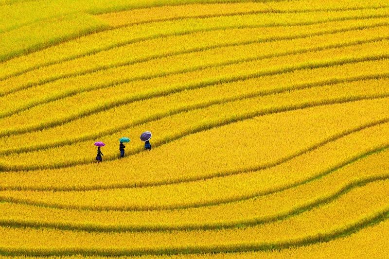 Terraced rice fields three women visit their rice fields in Mu Cang Chai Yen Bai Vietnam