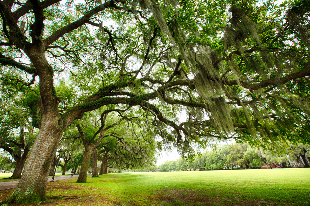 The famous live Southern Live Oaks covered in Spanish Moss growing in Savannahs historic squares