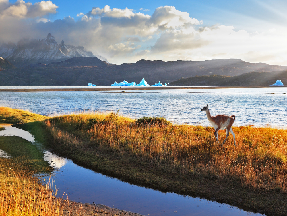 Trusting guanaco on the shore of Lake Grey