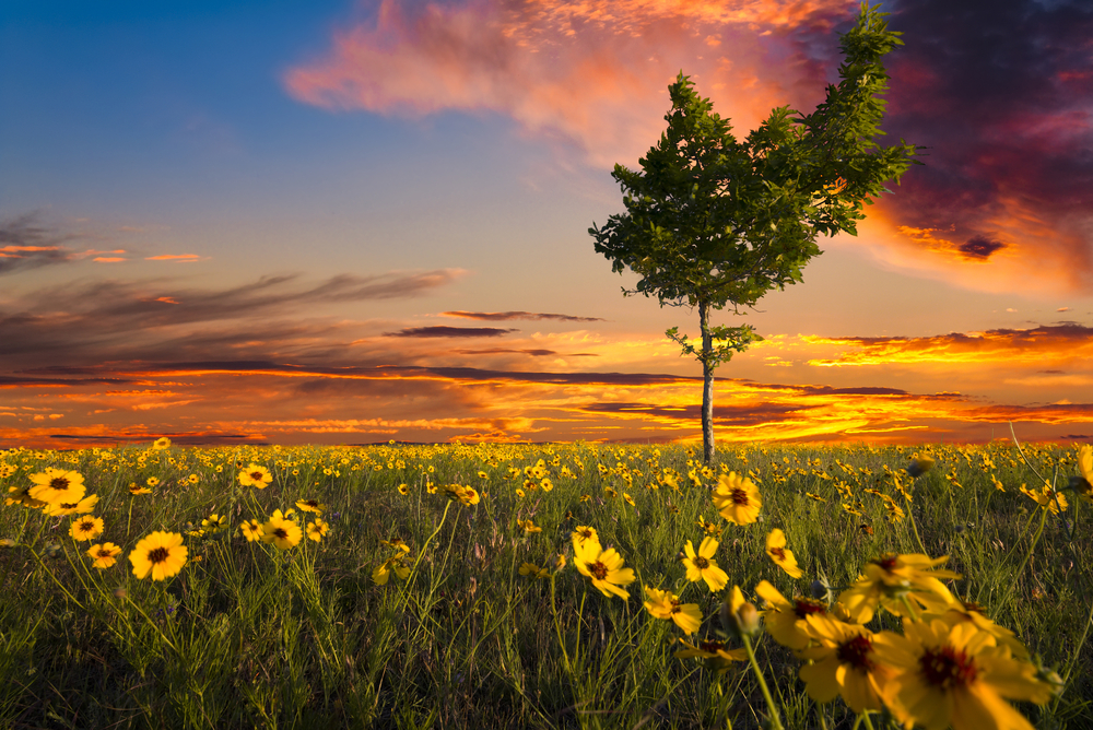 Unusually shaped tree sitting int a Texas sunflower field at dusk
