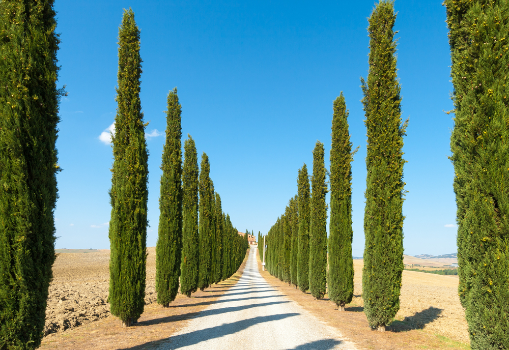 Val dOrcia Siena Tuscany Italy country road flanked with cypresses ascending a hill in a summer afternoon