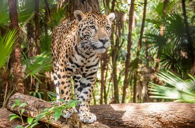 Walking Jaguar Belize