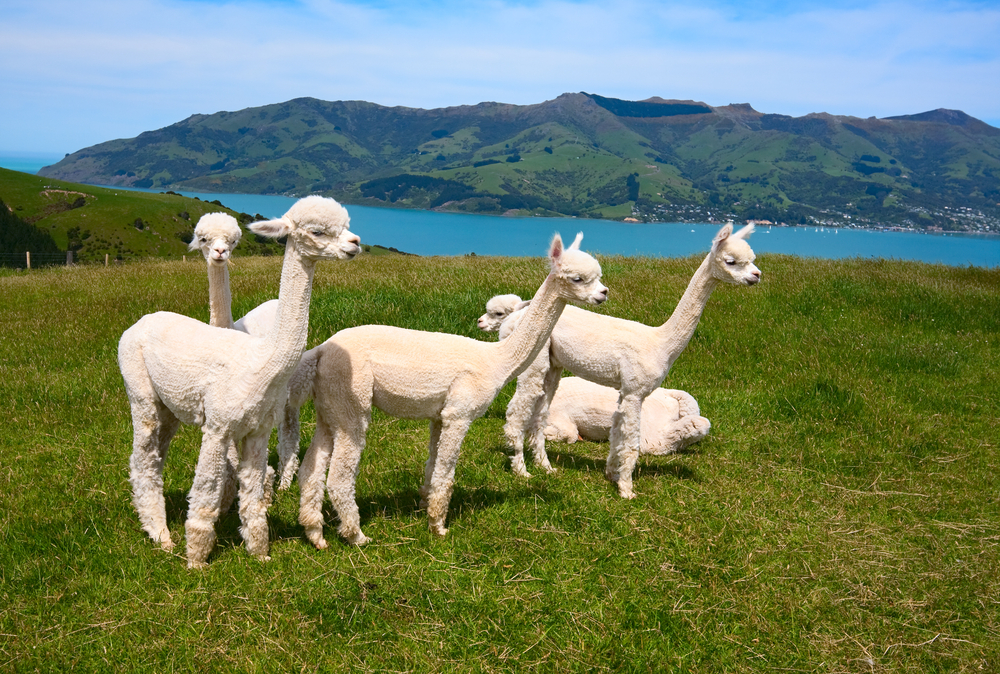 White alpakas are on backgrounds of fjord South Island New Zealand