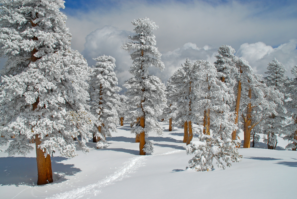 Winter Wonderland in a Pine Forest colorado