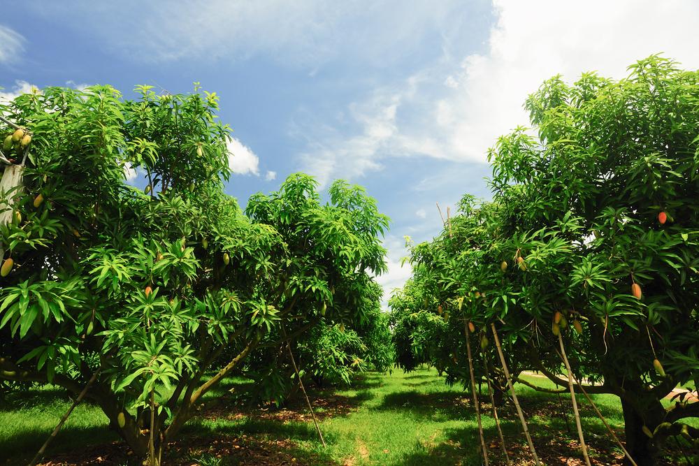 alberi mango indonesia