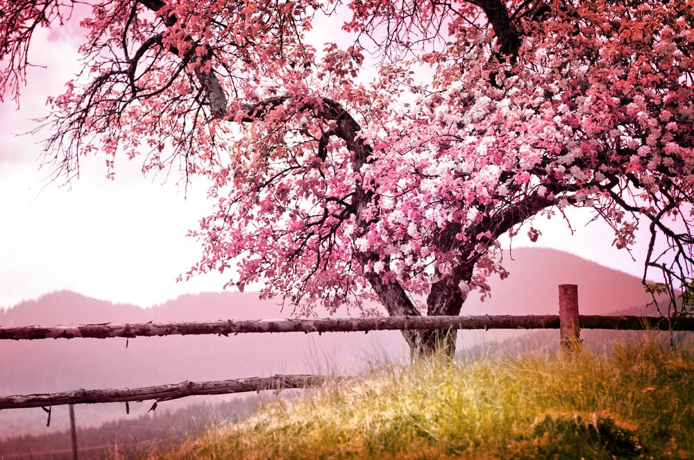 albero ciliegio copertina