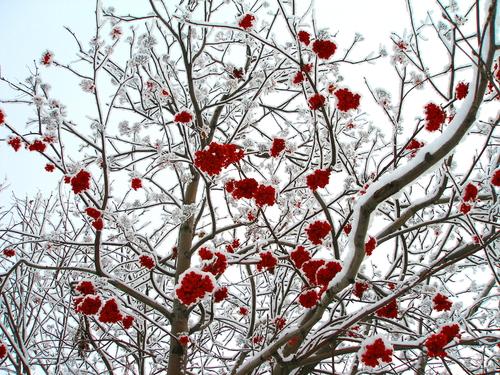 albero neve russia