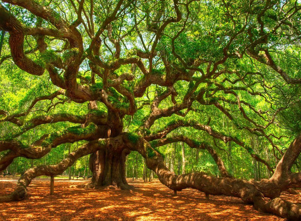 albero sud carolina