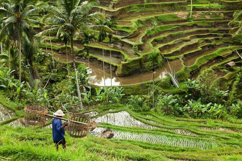 ali rice terraces worke