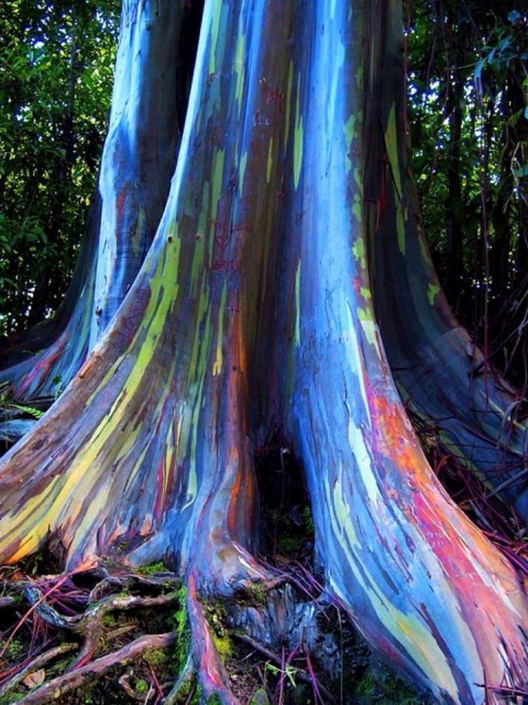 amazing trees rainbow eucal Hawaii yptus 4