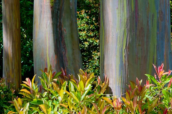 arcobaleno albero hawaii
