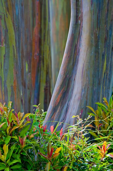 arcobaleno alberohawaii