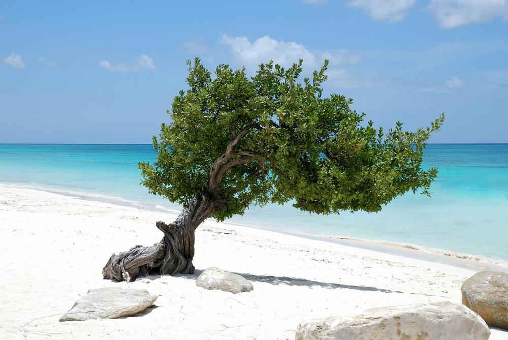 aruba albero