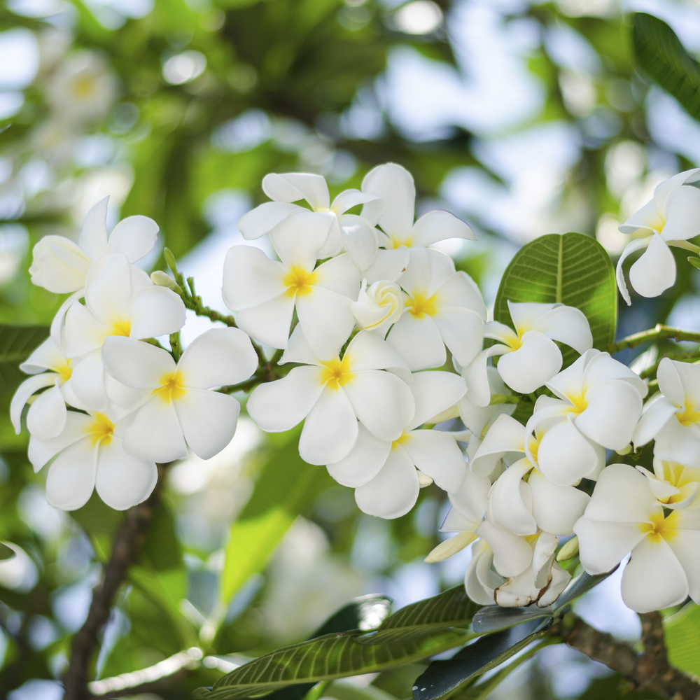 beautiful Frangipani flowers on tree fiji