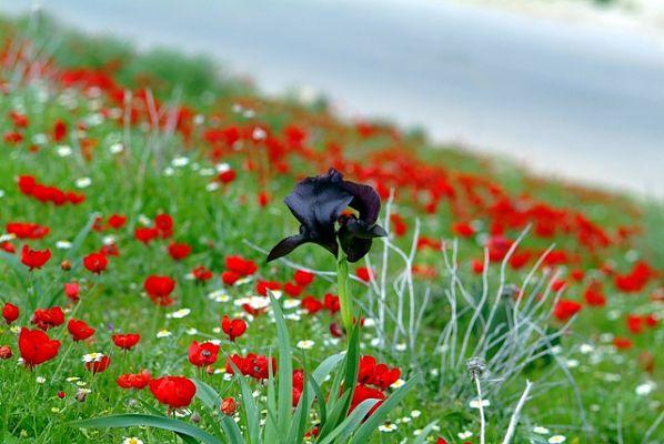 black iris1