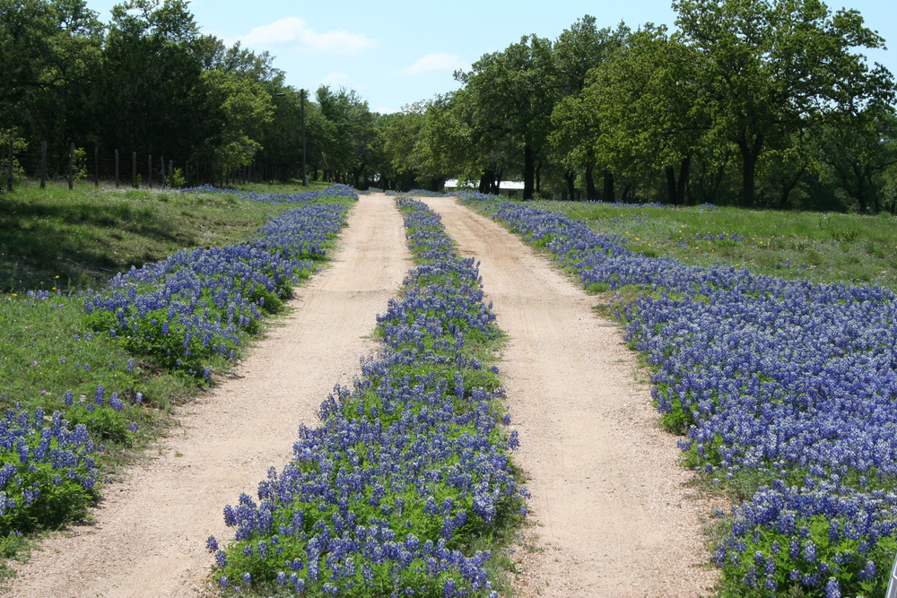 bluebonnets lining a country dirt road