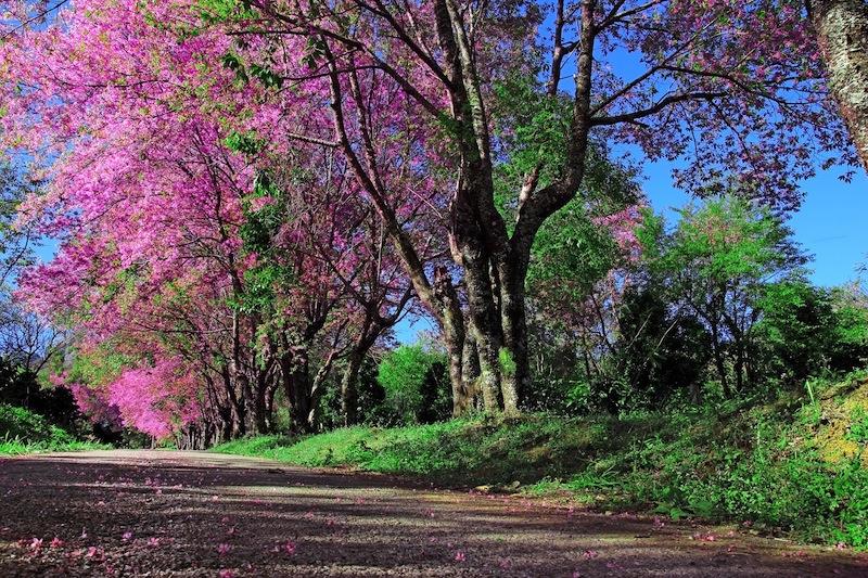 bosco ciliegi tailandia