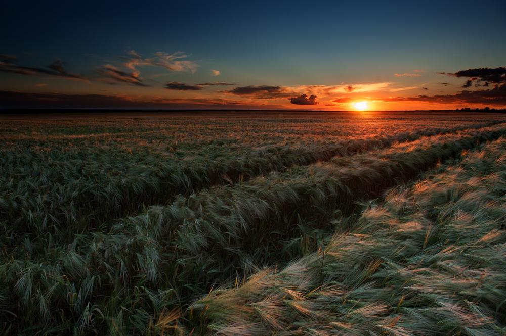 campo di grano tramonto