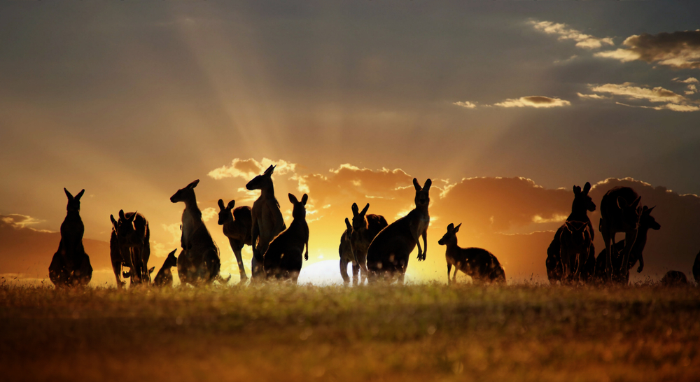 canguro tramonto2