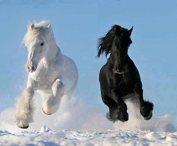 cavalli bianco e nero