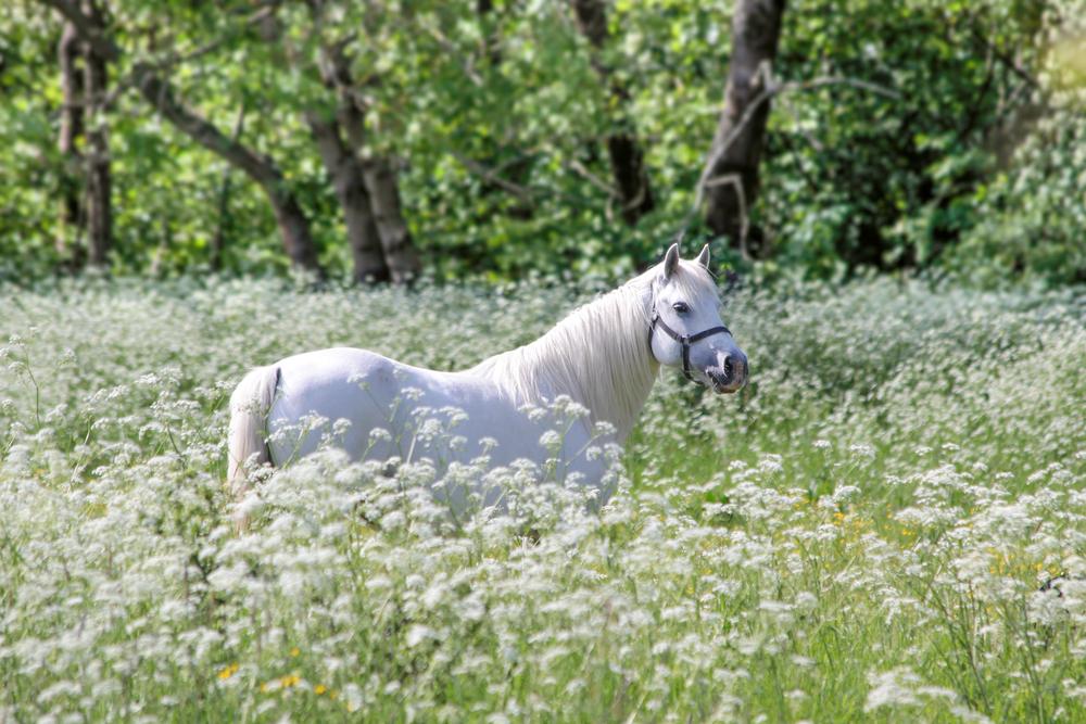 cavallo danimarca