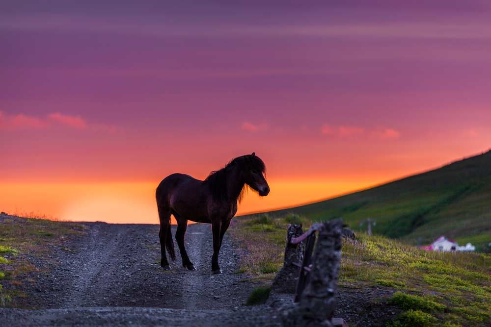 cavallo islanda