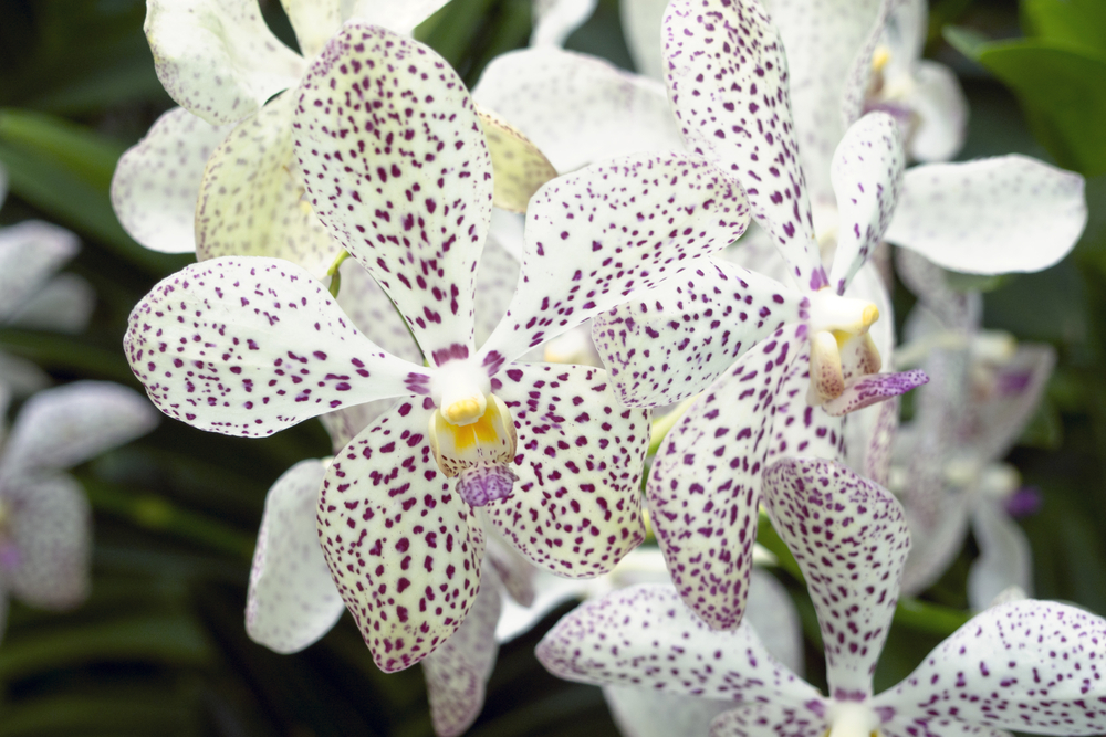 closeup of scenic blossom orchids from famous National Orchid Garden of Singapore focus on central flower